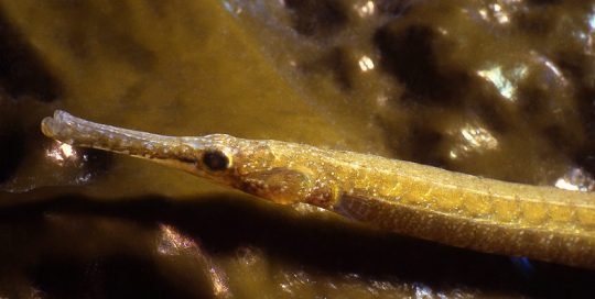 Bay Pipefish