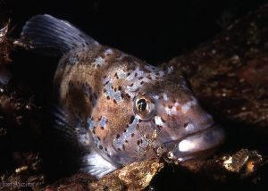Male Kelp Greenling