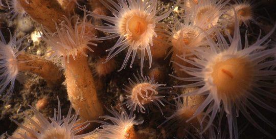Orange Zoanthid Colony (Epizoanthus scotinus)