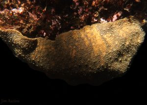 Patterned Giant Pacific Chiton