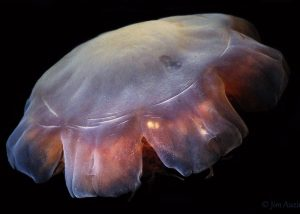 Lion's Mane Jelly