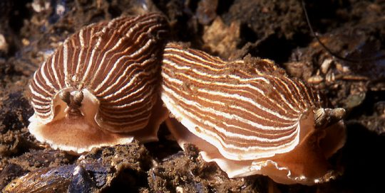 Striped Nudibranch (Armina californica)