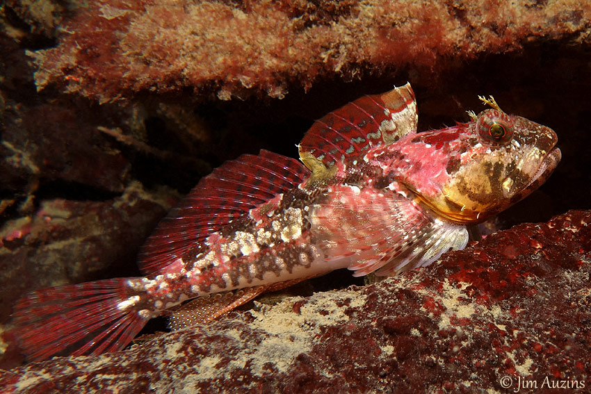 Scalyhead Sculpin (Artedius harringtoni)