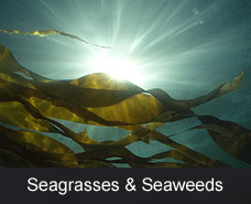 Seagrasses and Seaweeds