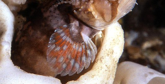Decorated Warbonnet (Chirolophis decoratus)