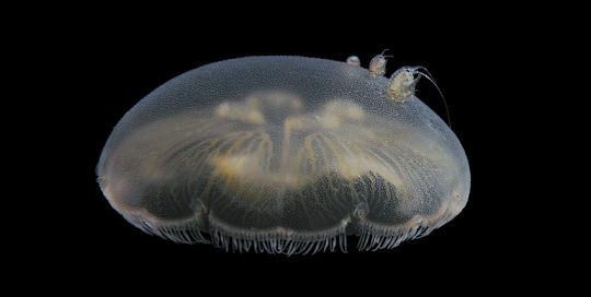 Moon Jelly Amphipod Hitchhikers