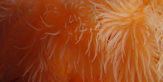 Orange Giant Plumose Anemone Tentacles (Metridium farcimen)