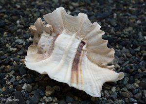 Leafy Hornmouth Shell