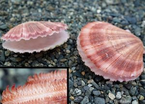 Spiny Pink Scallop Shells