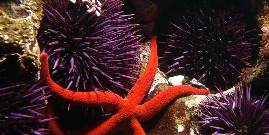 Purple Sea Urchin Cluster