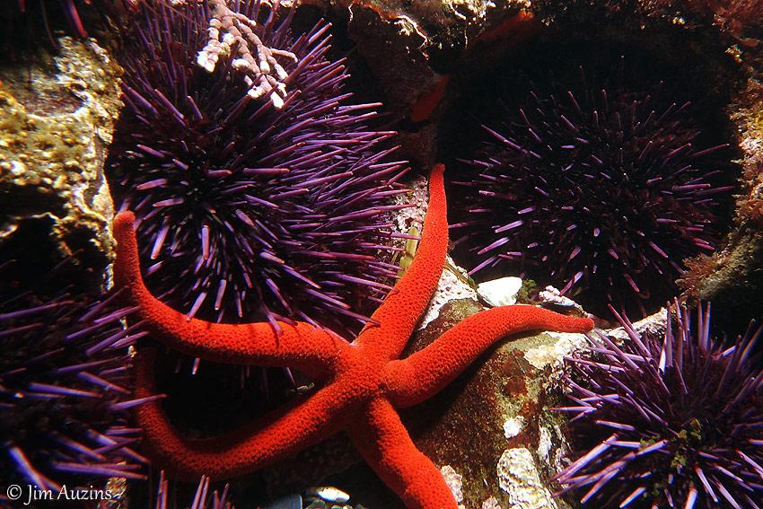 Purple Sea Urchin Cluster