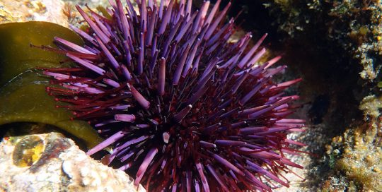 Purple Sea Urchin Feeding