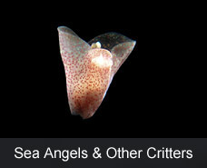 Sea Angels & Other Critters