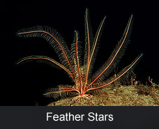 Feather Stars