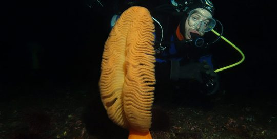 Giant Orange Sea Pen