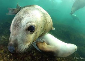 Curious Steller Sea Lion