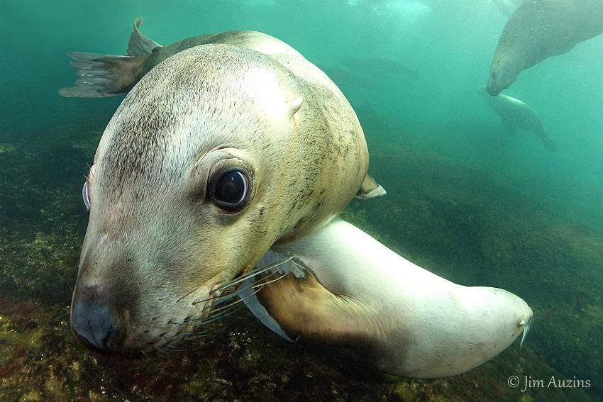 Curious Steller Sea Lion (Eumetopias jubatus)