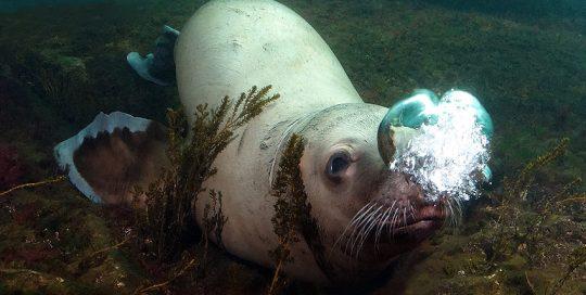 Steller Sea Lion Blowing Bubbles (Eumetopias jubatus)