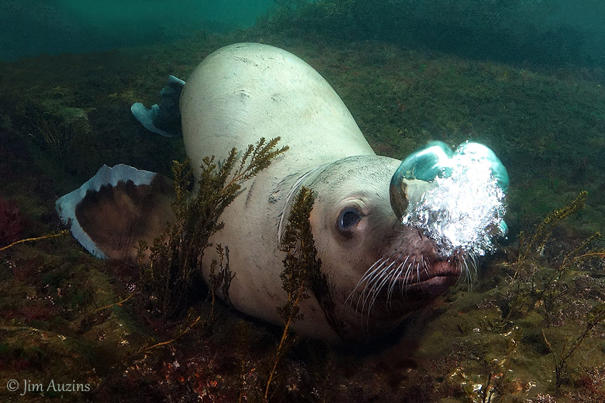 Steller Sea Lion Blowing Bubbles