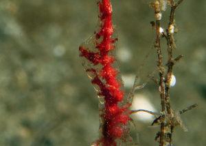 Slender Shrimp