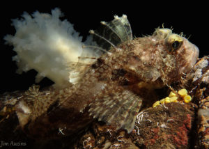 Fringed Sculpin