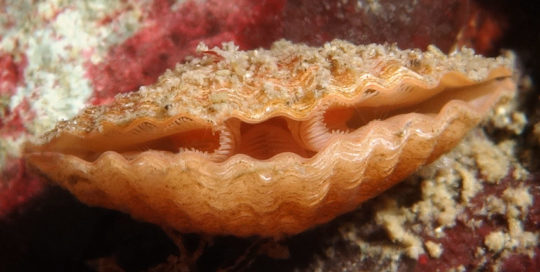Scalloped Transverse Lampshell