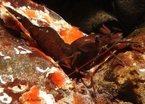 Brown Stout Shrimp