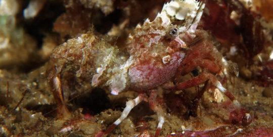 Pink Patch Deep Blade Shrimp (Spirontocaris prionota)