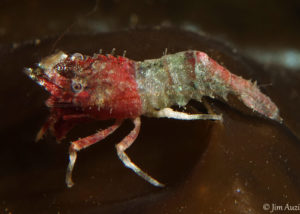 Red Anterior Deep Blade Shrimp