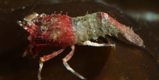 Red Anterior Deep Blade Shrimp (Spirontocaris prionota)