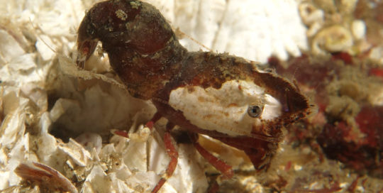 White Patch Deep Blade Shrimp (Spirontocaris prionota)