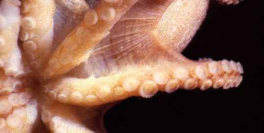 Pacific Red Octopus Beak (Octopus rubescens)