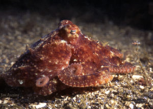 Pacific Red Octopus Identification