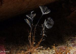 Parasol Bryozoan