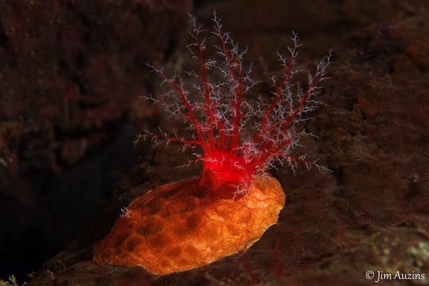 Slipper Sea Cucumber (Psolus chitonoides)