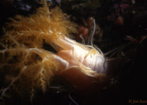 Pale Sea Cucumber