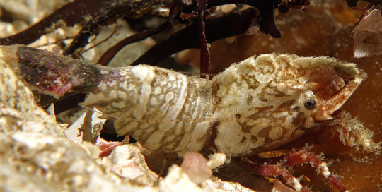 Speckled Deep Blade Shrimp (Spirontocaris prionota)