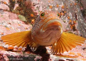 Inquisitive Female Kelp Greenling (Hexagrammos decagrammus)