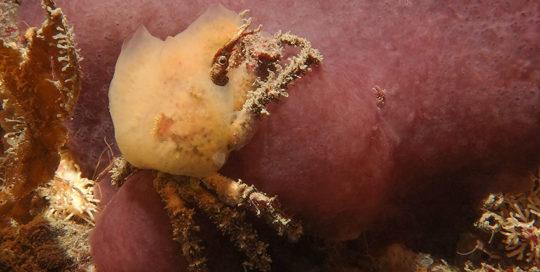 Female Sharpnose Crab (Scyra acutifrons)