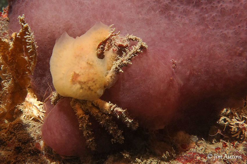 Female Sharpnose Crab (Scyra acutifrons)
