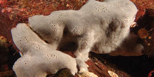 Spotted Gray Sponge (Penares cortius)