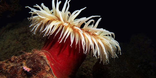 White Tentacled Fish Eating Anemone (Urticina piscivora)