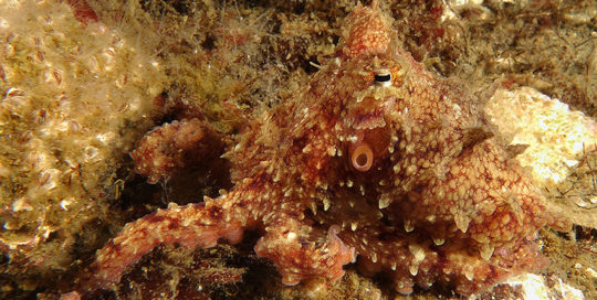 Camouflaged Pacific Red Octopus (Octopus rubescens)