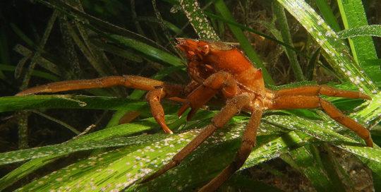 Northern Kelp Crab (Pugettia producta)