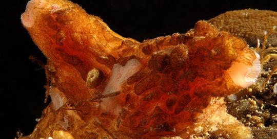 Warty Tunicate (Pyura haustor)