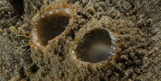 Basket Cockle (Clinocardium nuttalli) Siphon