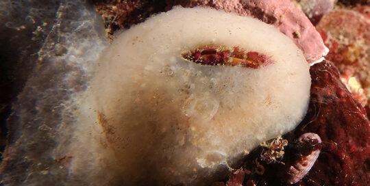Bladderclam (Mytilimeria nuttalli)