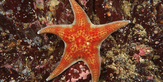 Leather Star (Dermasterias imbricata)