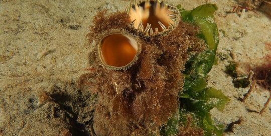 Pacific Gaper (Tresus nuttalli)