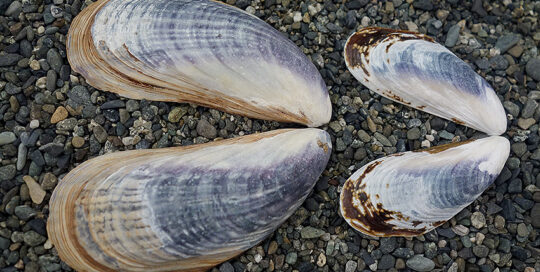 California Mussel (Mytilus californianus) Shell Valves